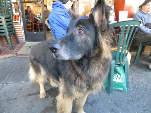 Fluffy German Shepherd