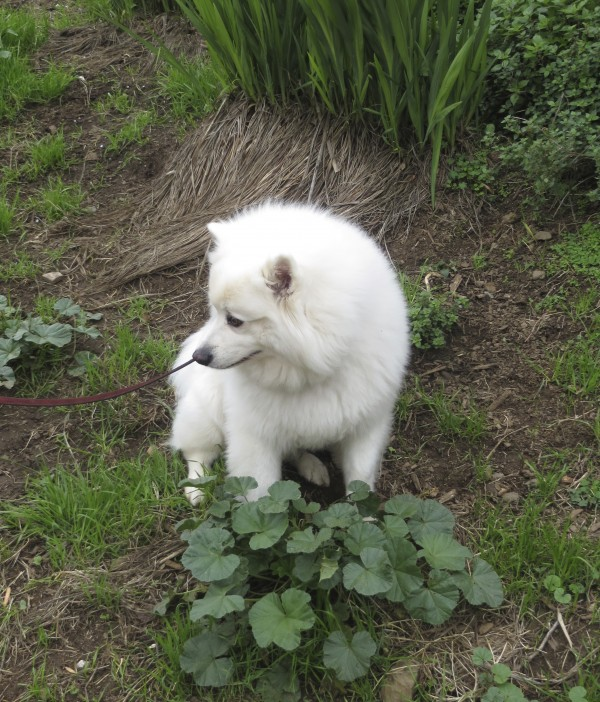 Probably a Samoyed