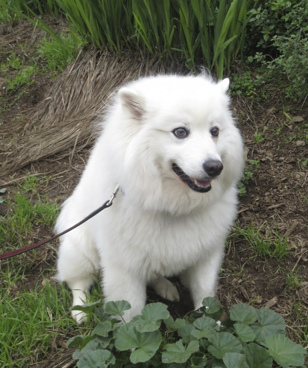 Still Probably a Samoyed