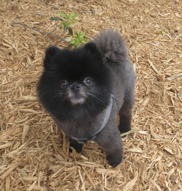Small Black and Grey Pomeranian