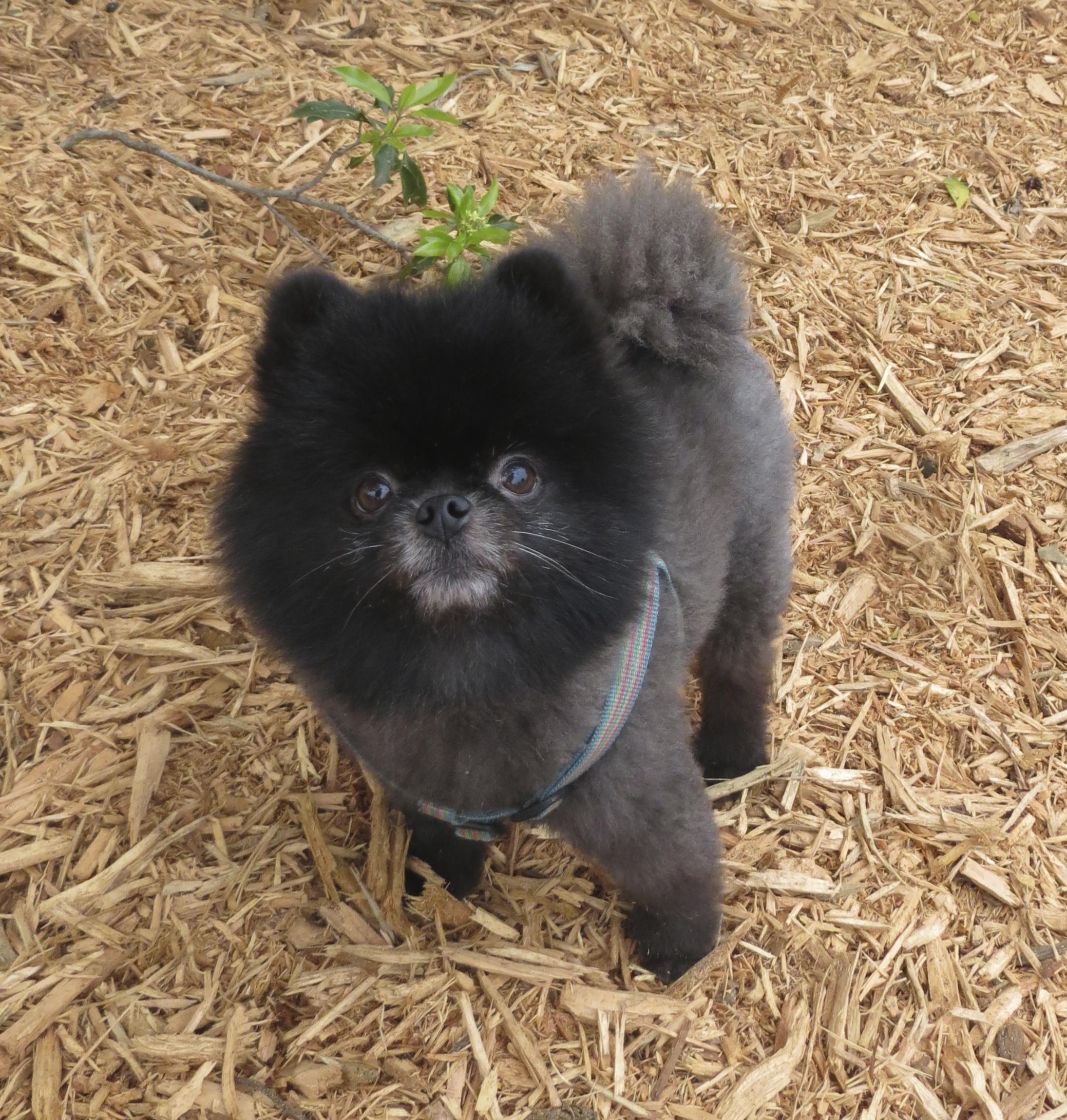 Small Black and Grey Pomeranian