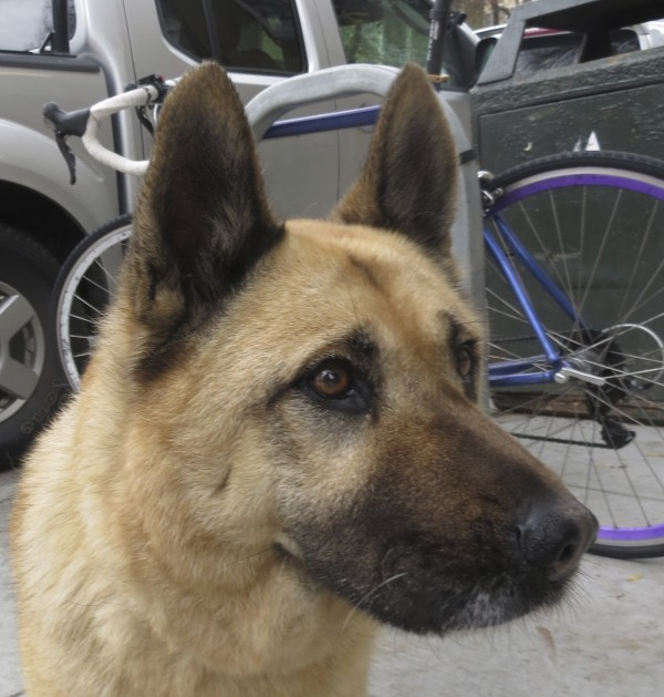 Dog of the Day: Eve the German Shepherd/Chow Mix - The ... Chow Chow X German Shepherd
