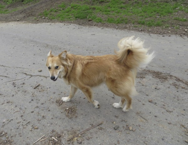 Yellow Golden Retriever Border Collie Chow Mix With Up Ears And Curly Tail