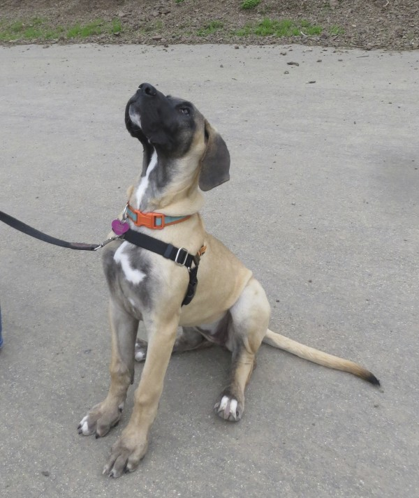 Four Month Old Fawn Harlequin Great Dane