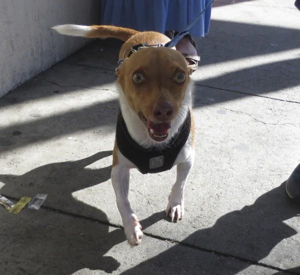 Tan-and-White Chihuahua Basenji Mix with Bug Eyes