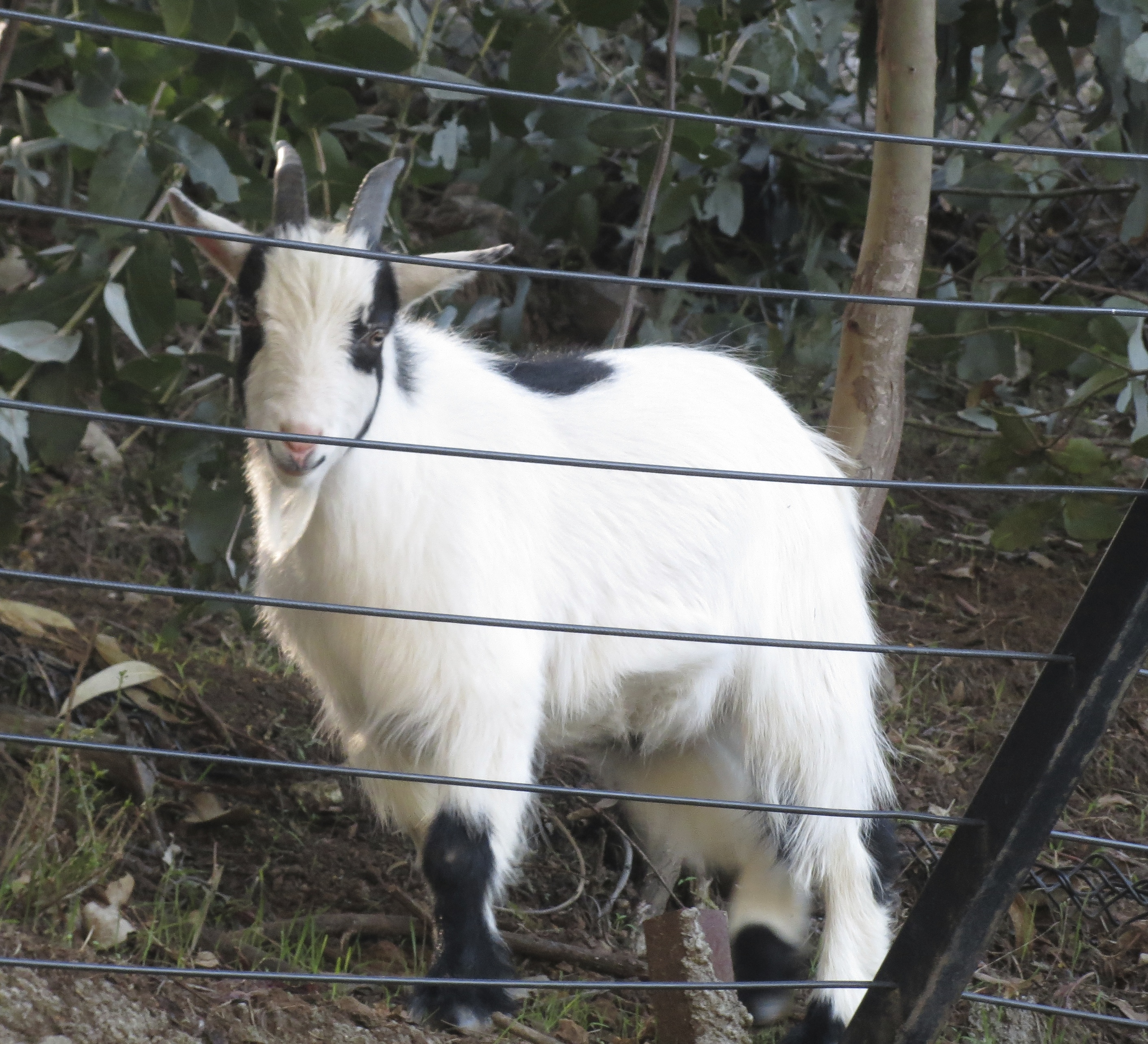 White Goat With Black Spots