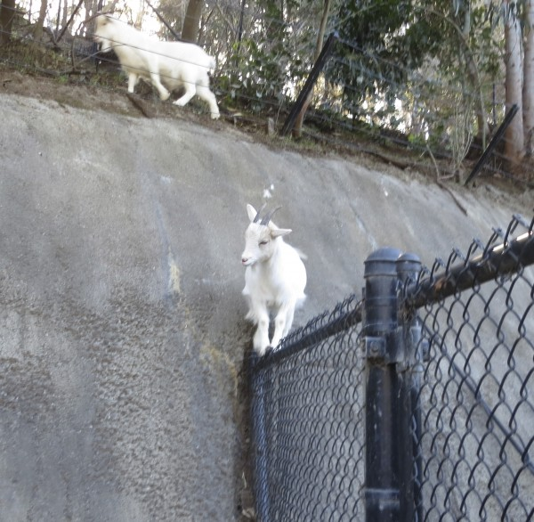 Goat Standing On Top Of A Cyclone Fence