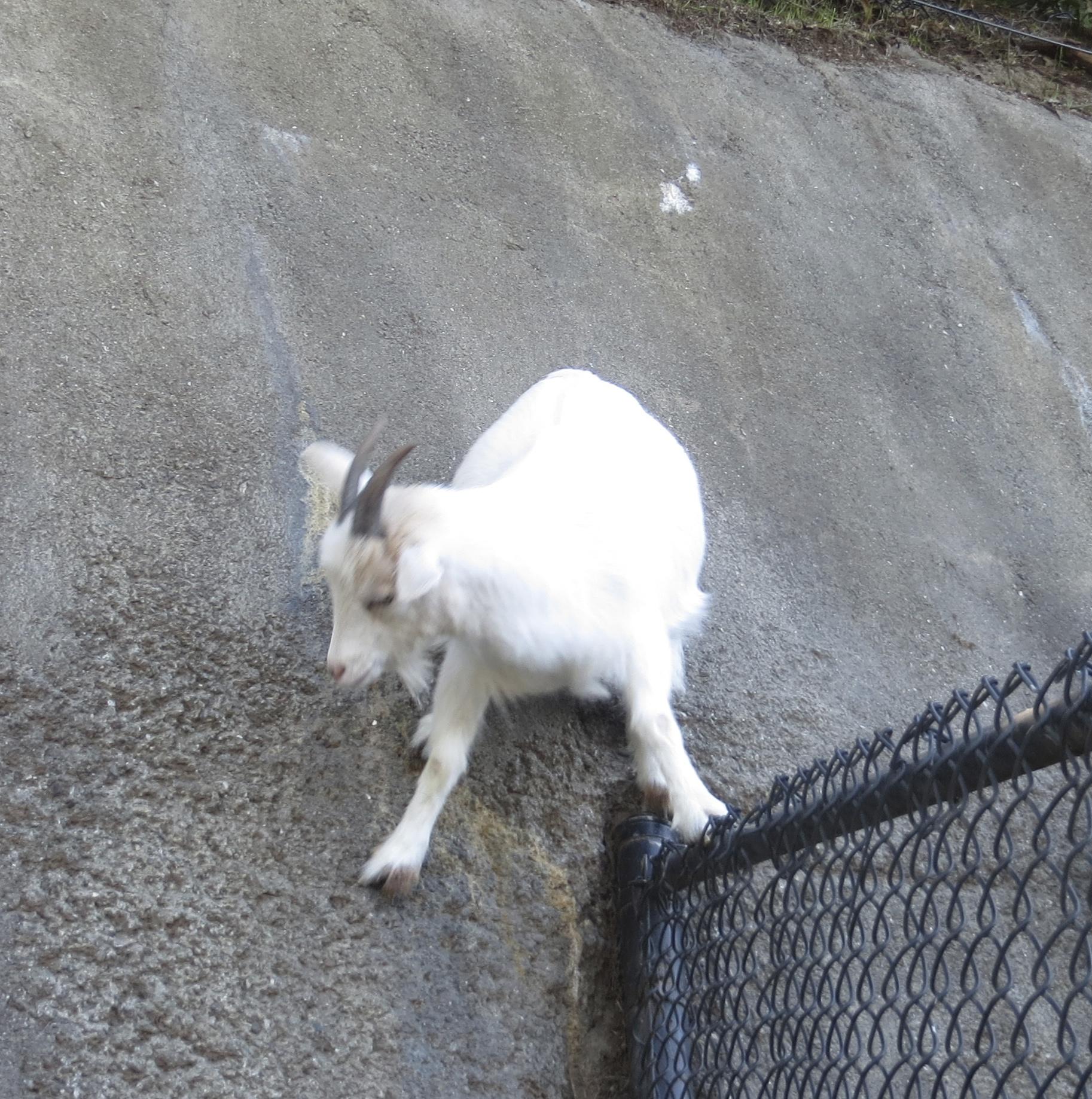Goat Climbing Wall