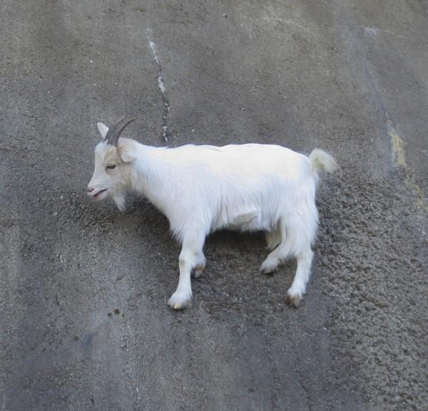 White Goat Climbing Sheer Wall