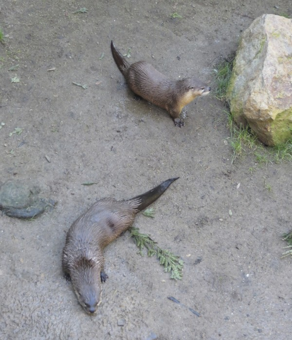 Two North American River Otters
