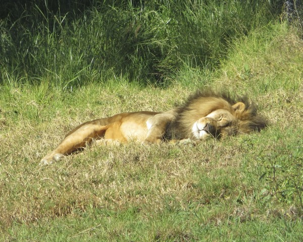 African Lion Rolling in the Grass