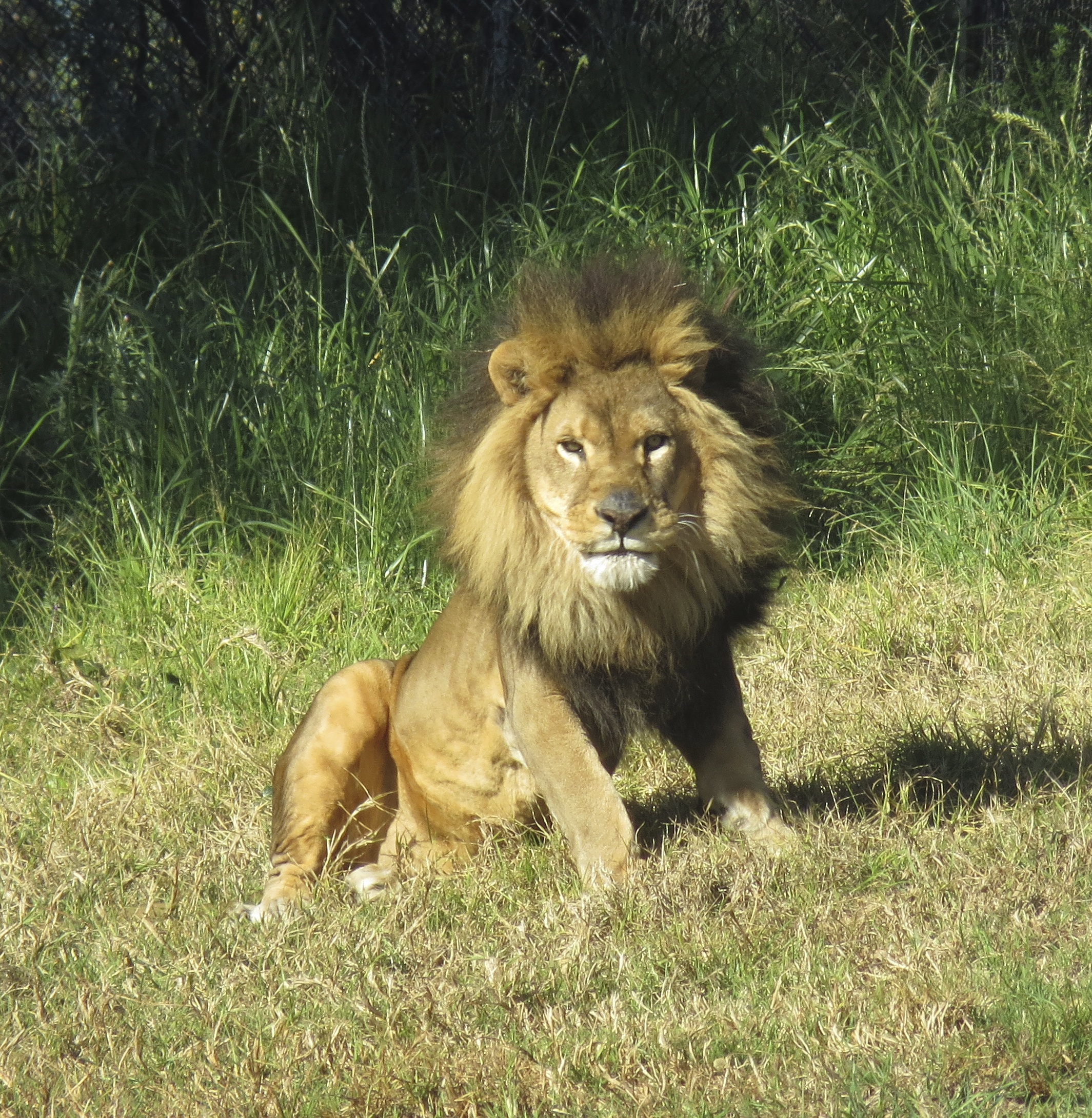 African Lion Staring at the Camera