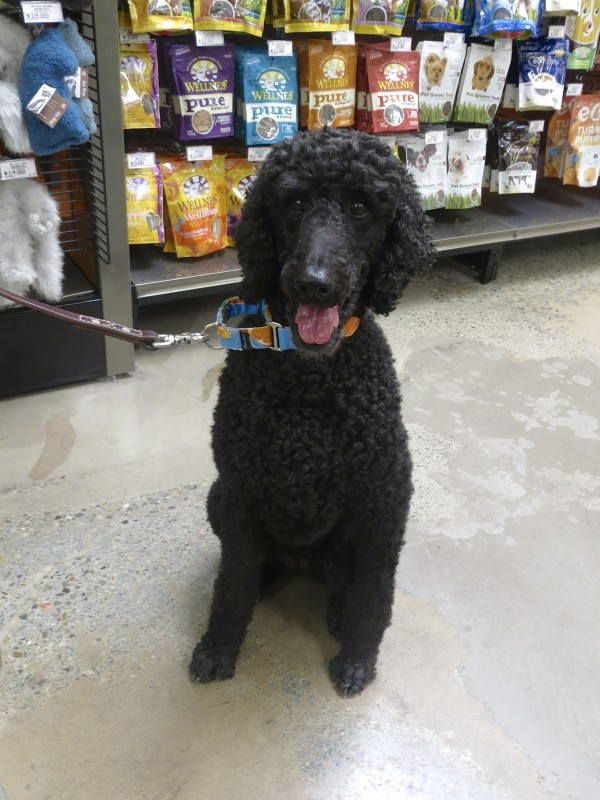 Black Standard Poodle Looking Happy