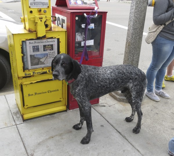 German Shorthaired Pointer Tied to a Newspaper Machine