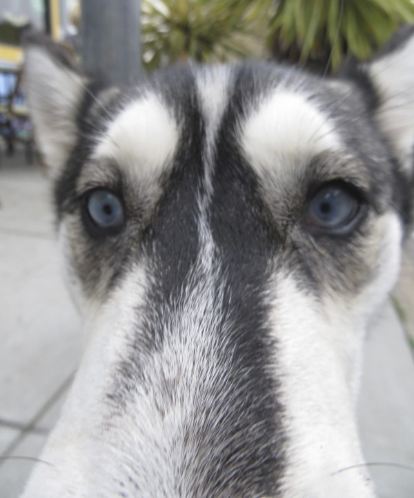 Agouti and White Siberian Husky With Light Blue Eyes Sticking Her Nose In My Camera