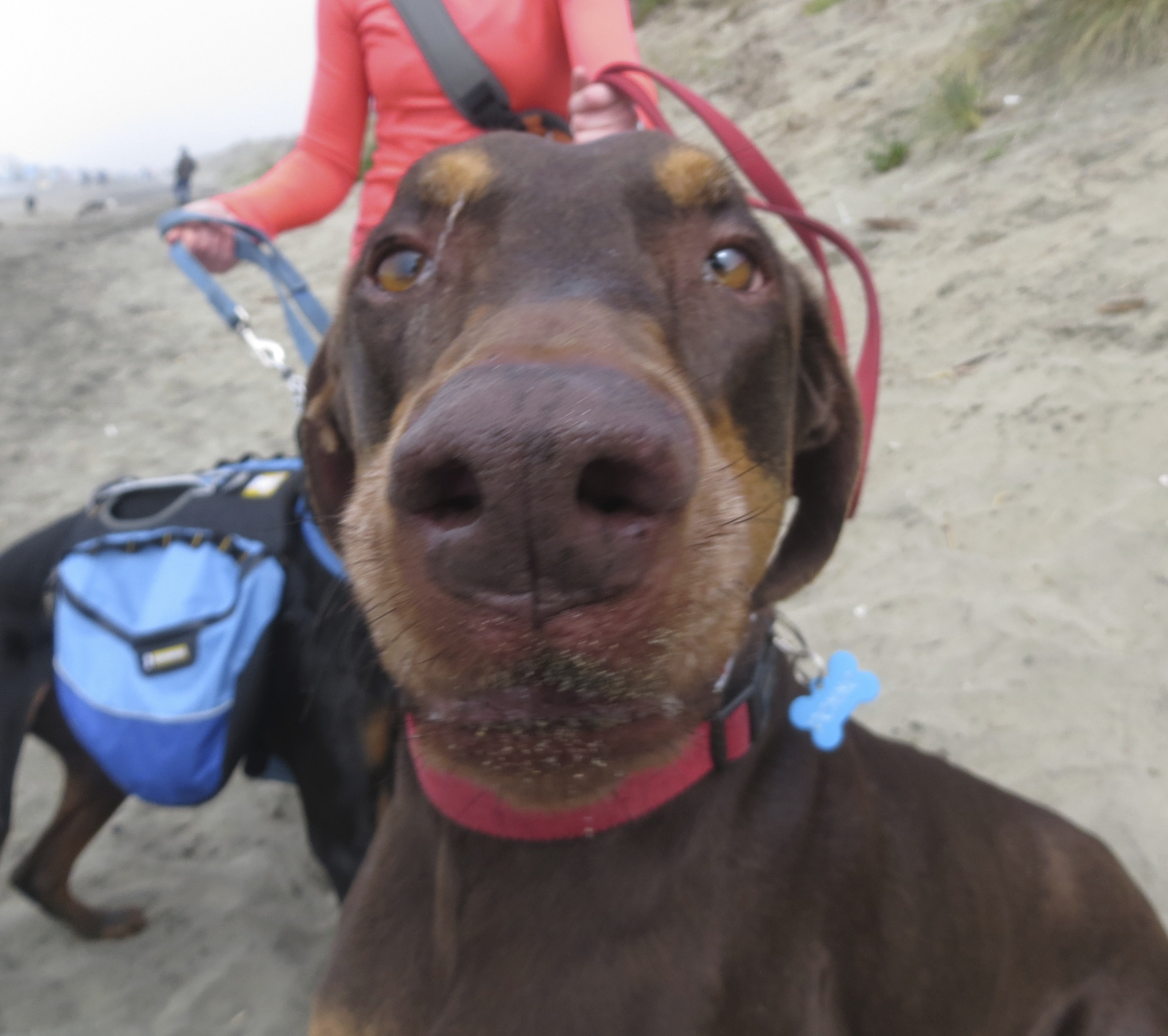 Red and Rust Doberman Nose