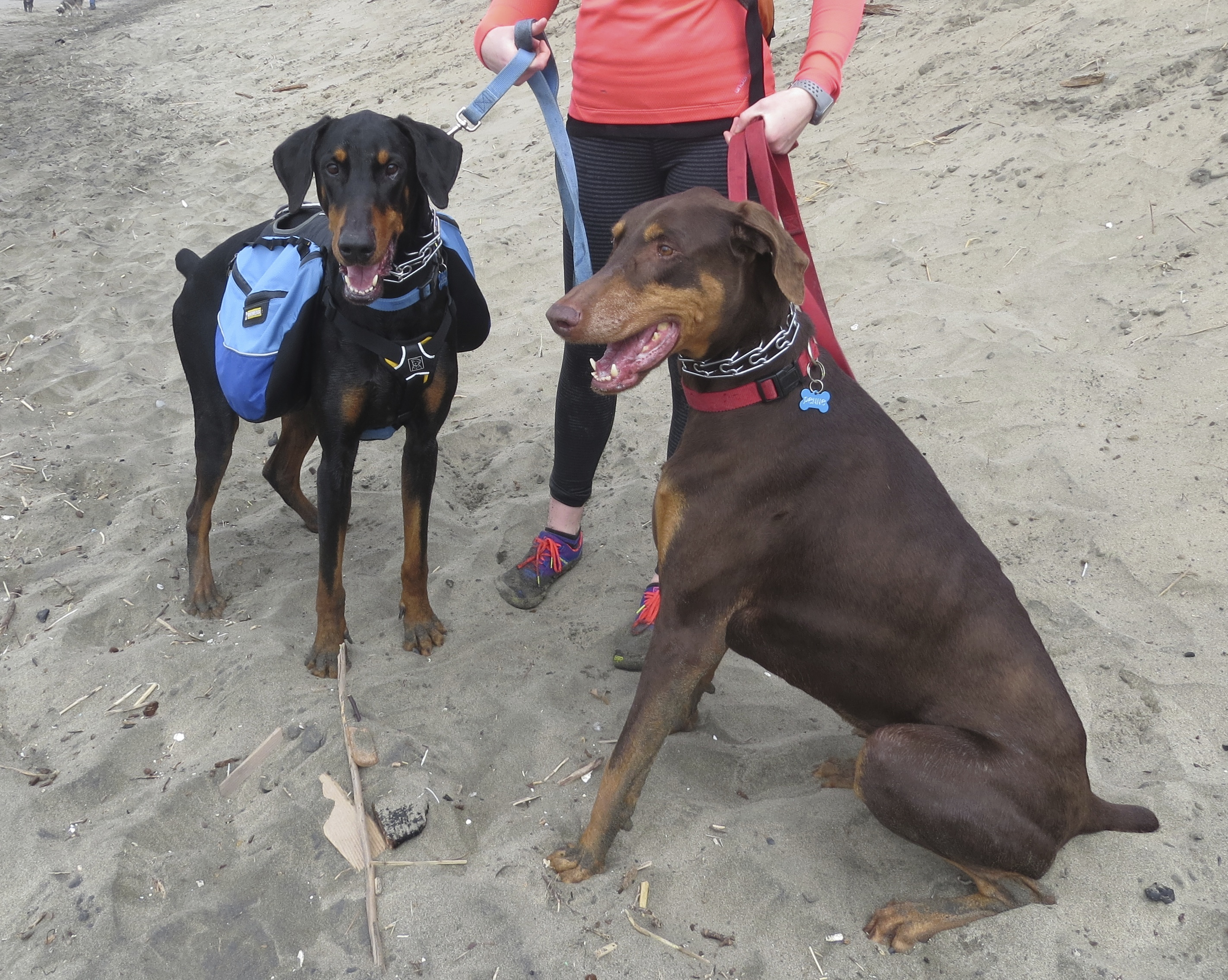 Black and Rust Doberman and Red and Rust Doberman