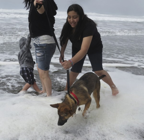 German Shepherd Puppy and People Wading in the Ocean