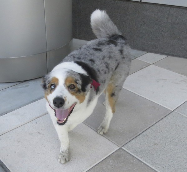 Blue Merle Australian Shepherd with Huge Tail and Heterochromia Barking