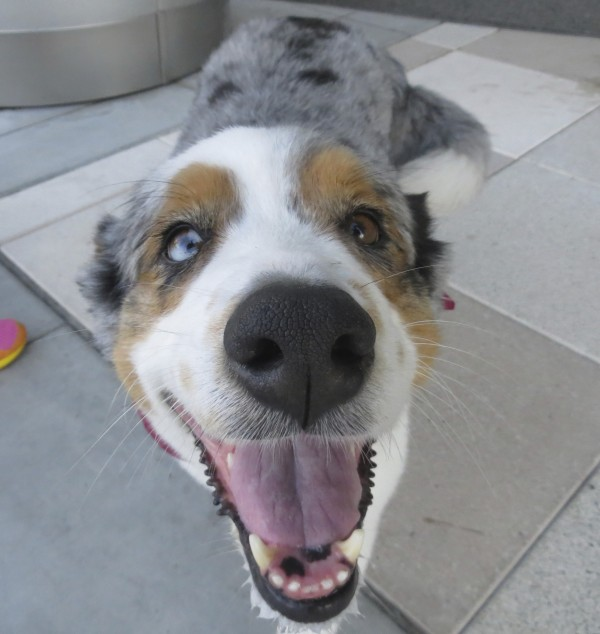 Blue Merle Australian Shepherd with Huge Tail and Heterochromia Looking Happy