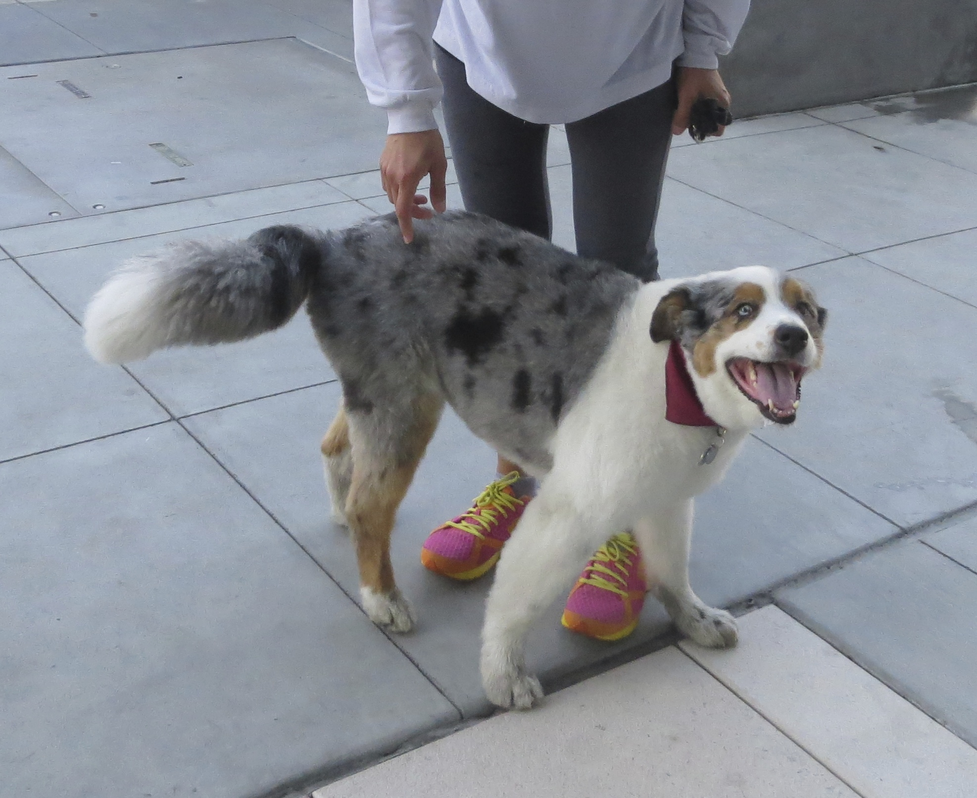 Now I Know What Youre Thinking An Australian Shepherd As Us