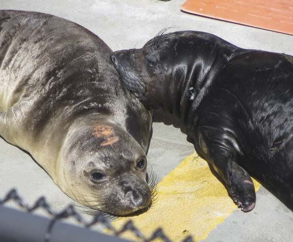 Two Baby Elephant Seals
