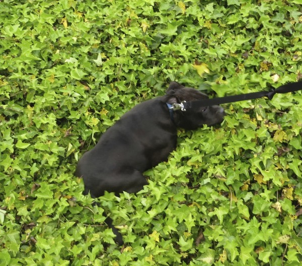 Black American Staffordshire Terrier Puppy Half Buried In Ivy