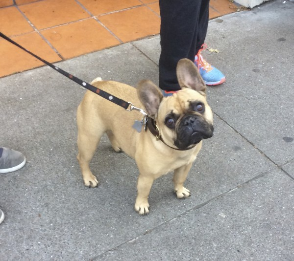 Fawn French Bulldog with Black Mask Tilting Her Head