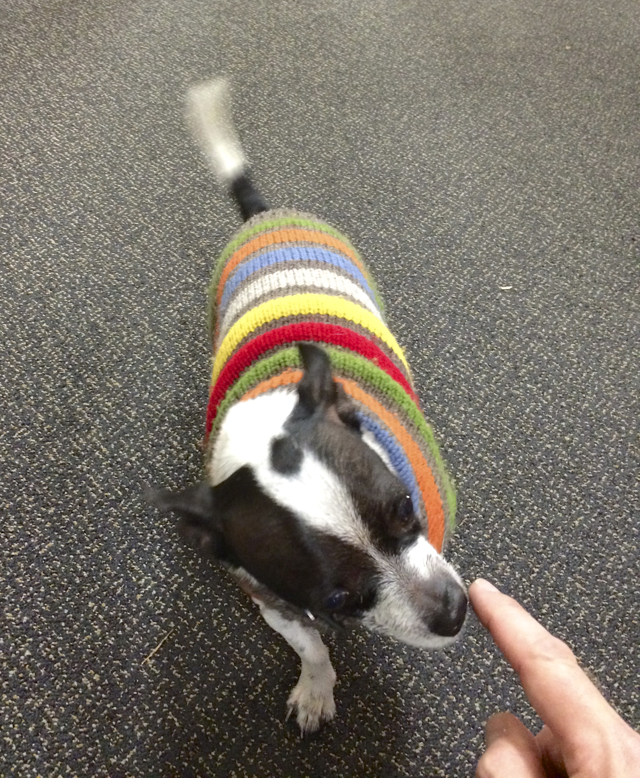 Chihuahua in Striped Sweater Sniffing My Finger