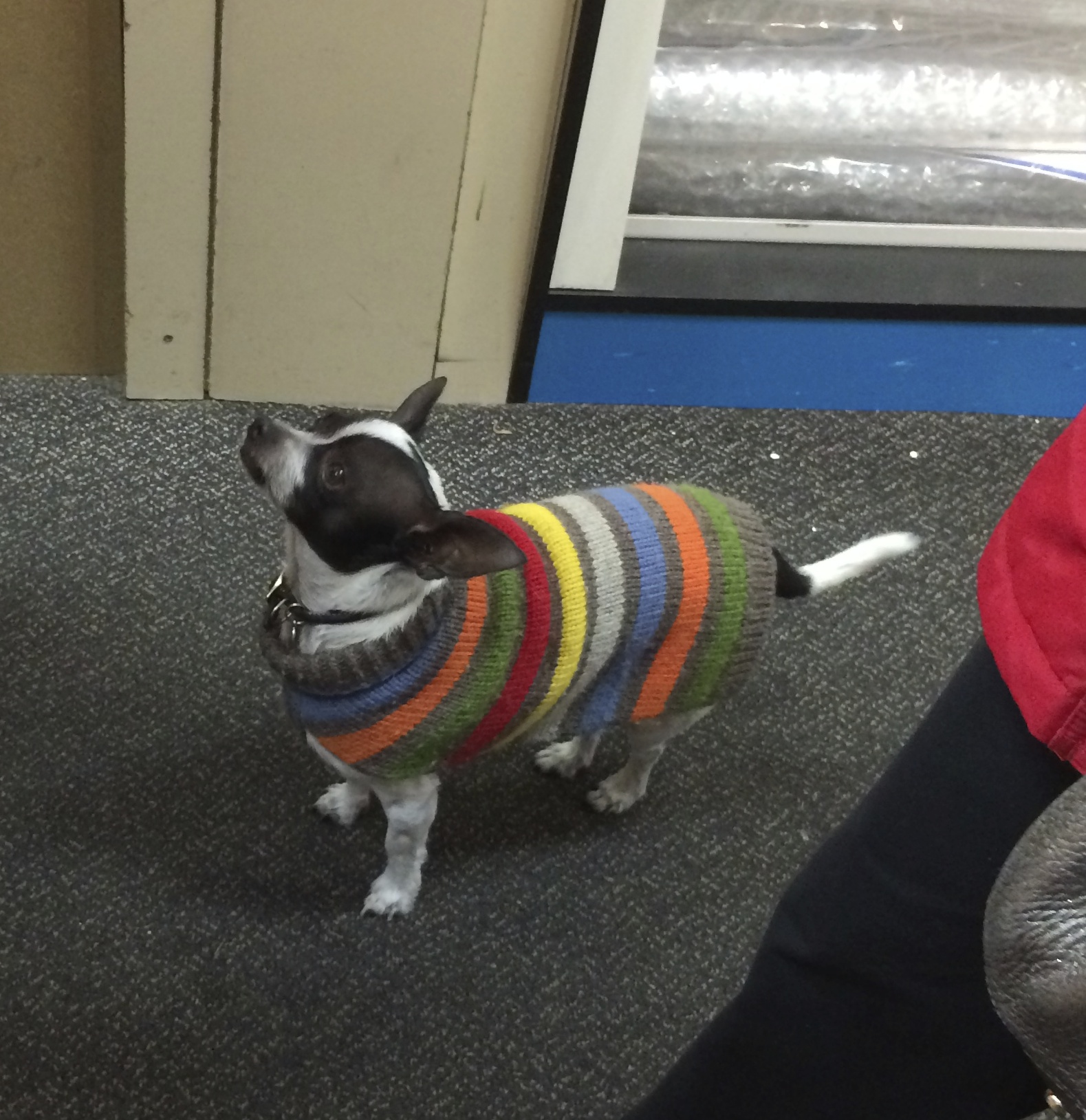 Chihuahua in Striped Sweater