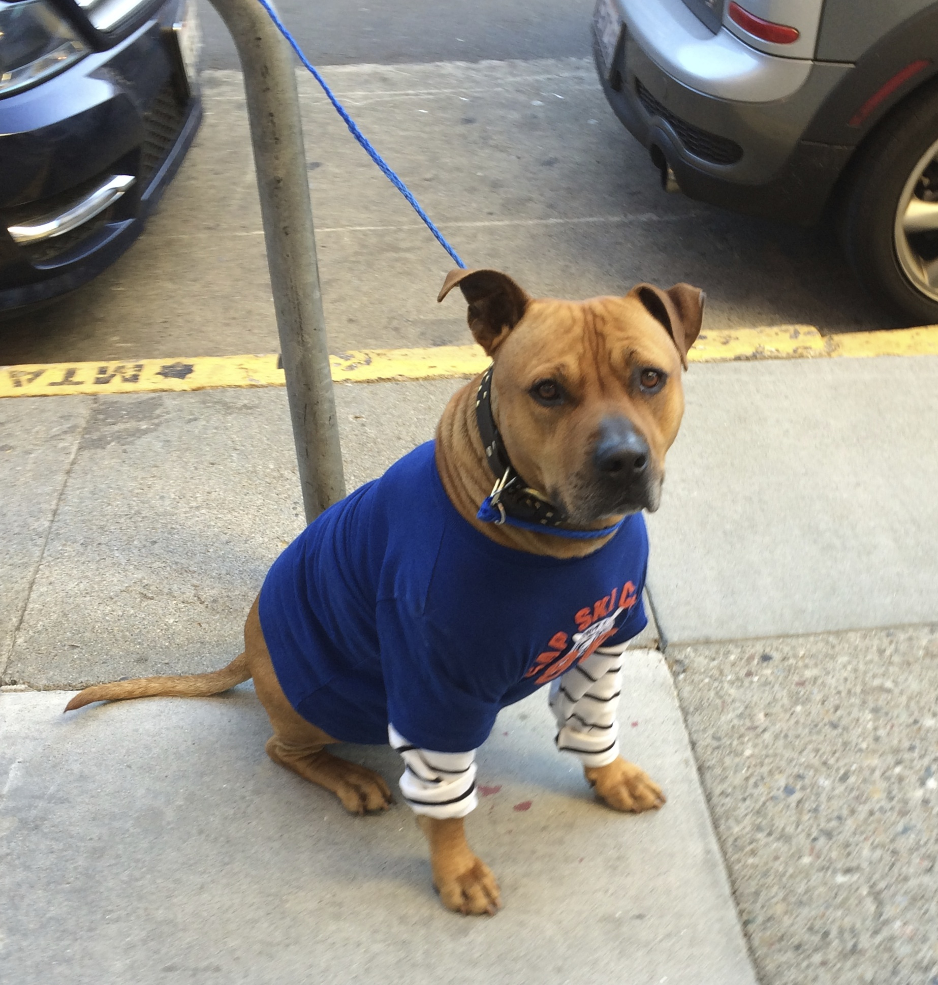 Tan Pit Bull Mix with Shirt