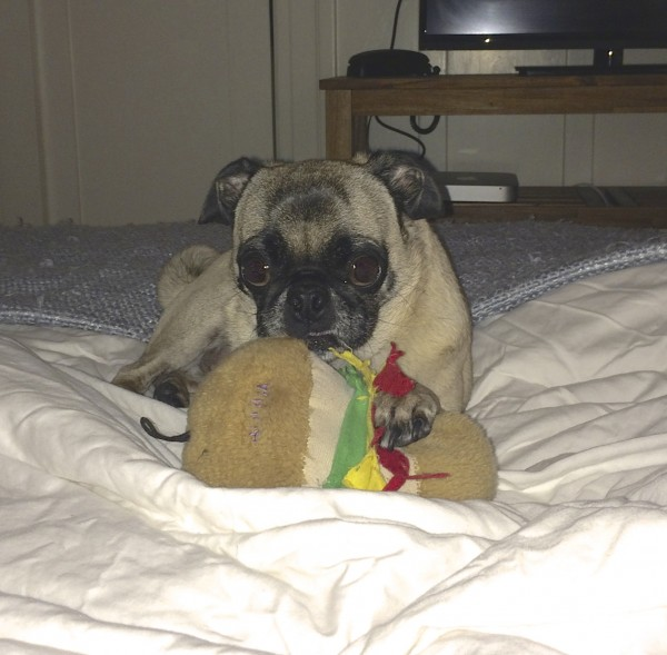 Pug On Bed With Stuffed Hamburger