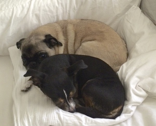 Chihuahua/Dachshund Mix And Pug Curled Up On A Pillow