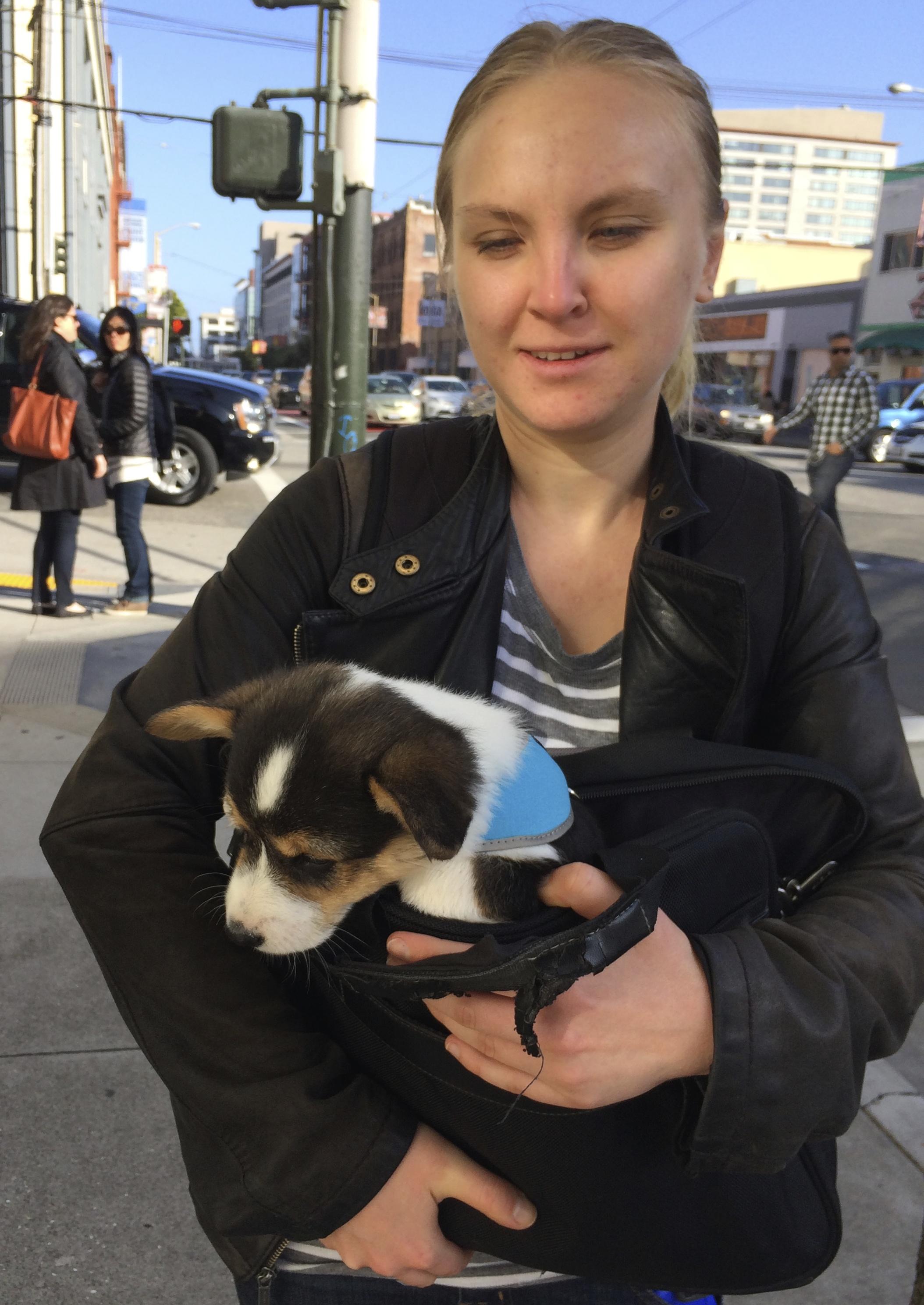 Tricolor Corgi Puppy In A Bag
