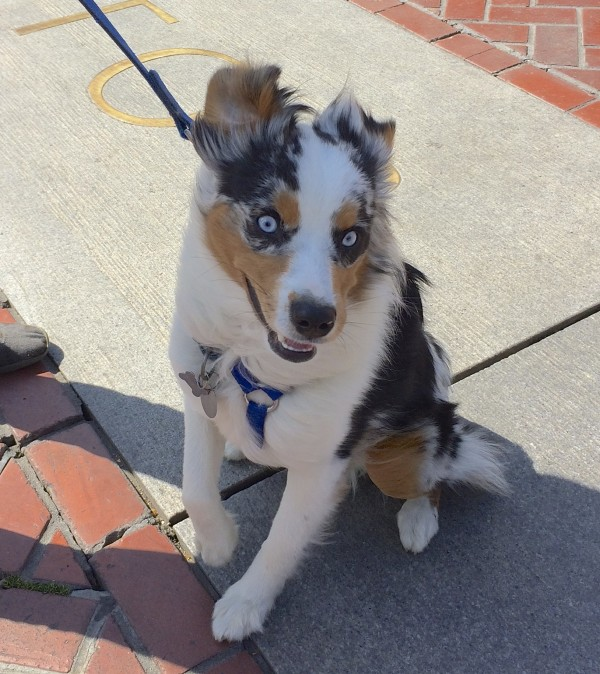 Blue Merle Tricolor Miniature Australian Shepherd With Blue Eyes and A Wild Happy Expression
