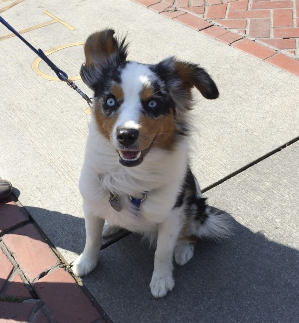 Blue Merle Tricolor Miniature Australian Shepherd With Blue Eyes and A Wild Happy Expression And One Flopped Ear
