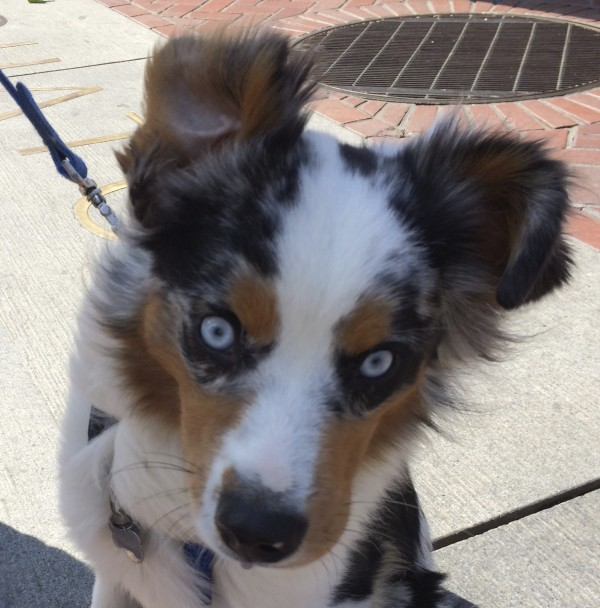 Blue Merle Tricolor Miniature Australian Shepherd With Blue Eyes and A Piercing Stare