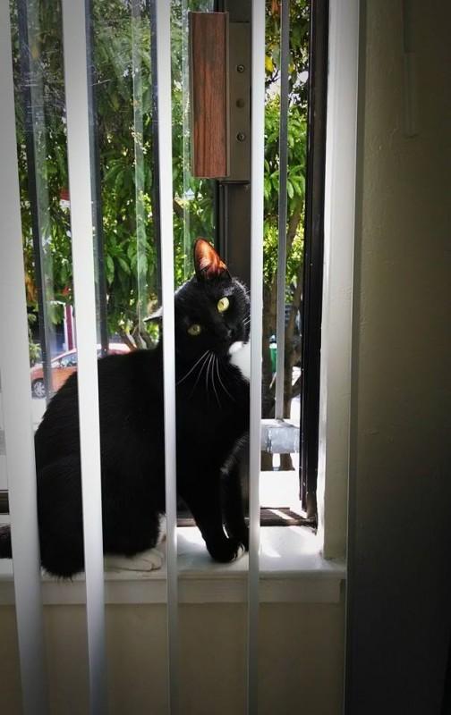 Tuxedo Cat With Sun Shining Through One Ear