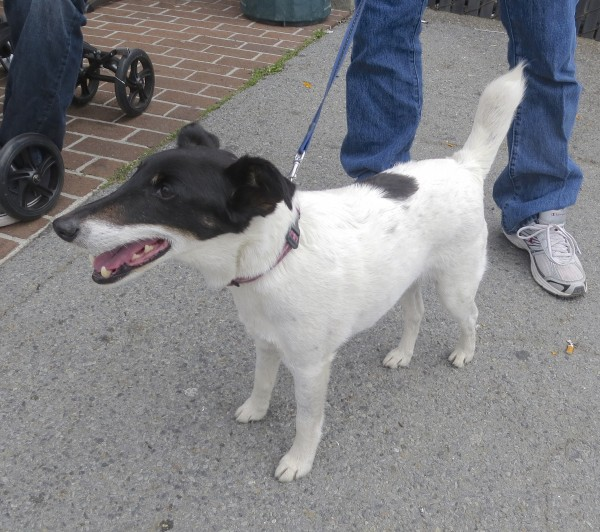 Mostly White Tricolor Smooth Fox Terrier