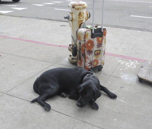 Black Labrador Retriever Sleeping Next To Fire Hydrant And Suitcase
