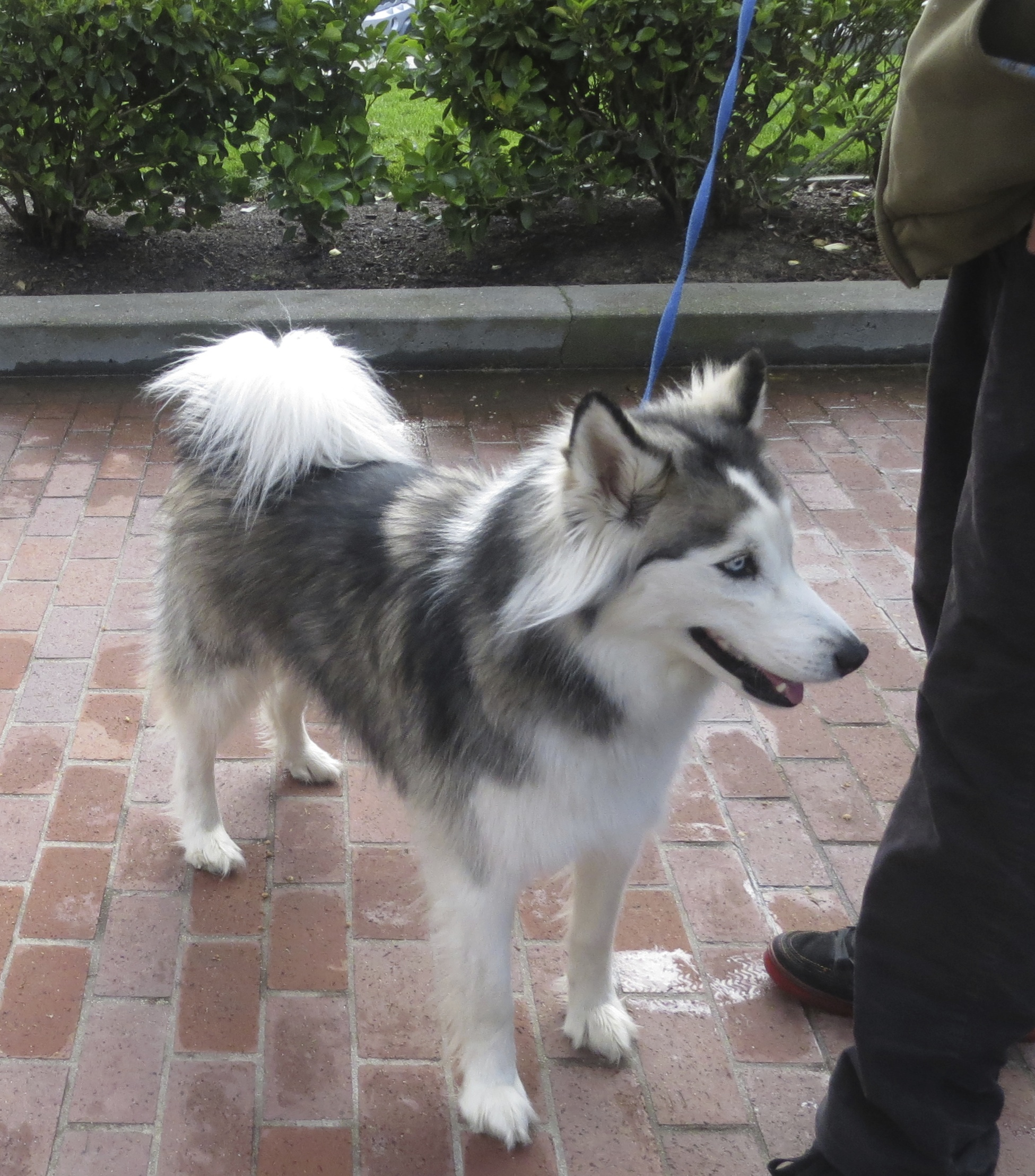Grey and White Alaskan Husky With Curly Tail