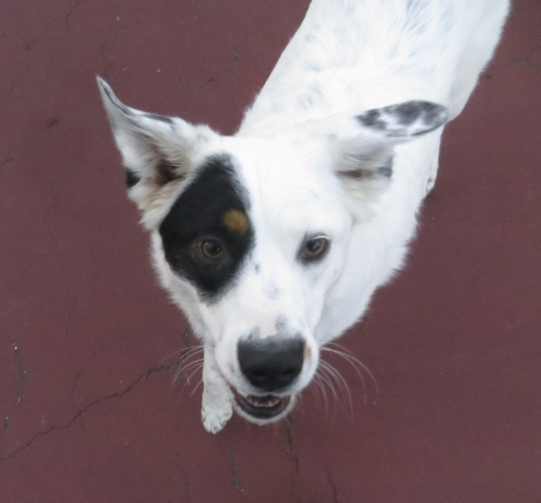 Extreme White Australian Shepherd/Border Collie Mix, All White Except with Black Around One Eye
