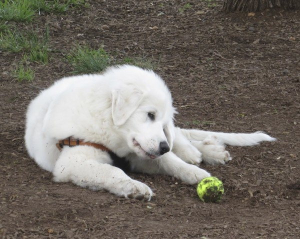 Great Pyrenees With Tennis Ball