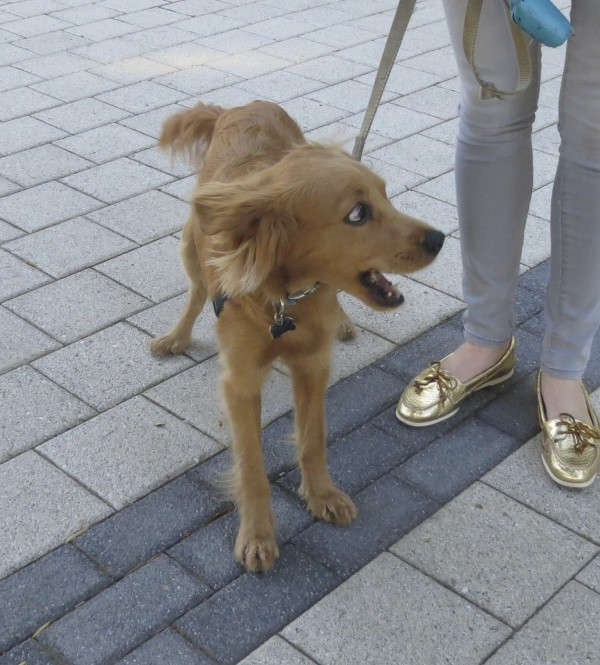 "Repeat Customer: Henry the ""Teacup Golden Retriever"", All ..."