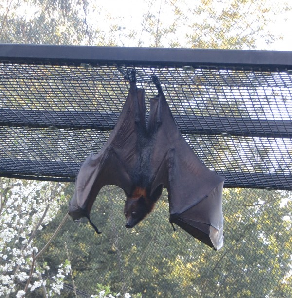 Island Flying Fox Hanging Upside Down With Wings Spread