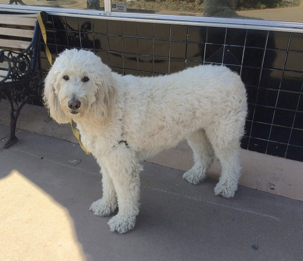 Huge White Goldendoodle