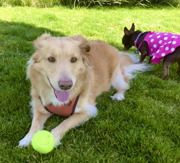 Corgi/Golden Retriever Mix Being Sniffed By A Chihuahua In A Dress