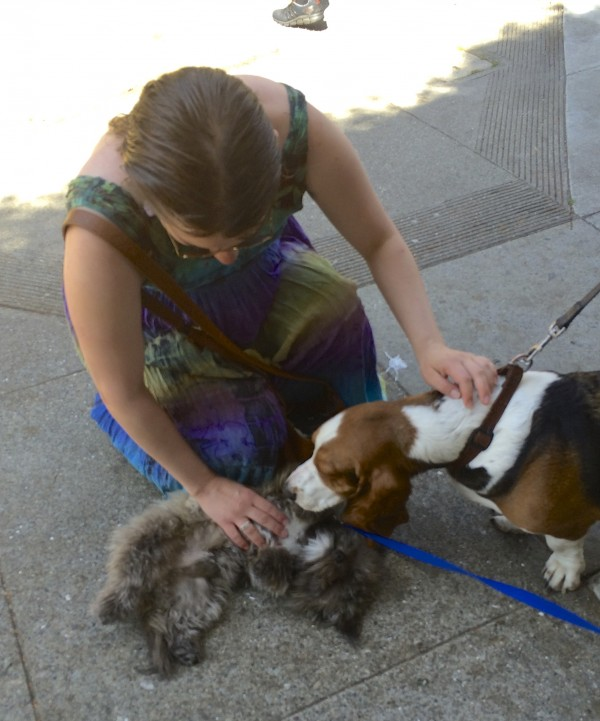 Tricolor Basset Hound Sniffing Little Grey Terrier Puppy