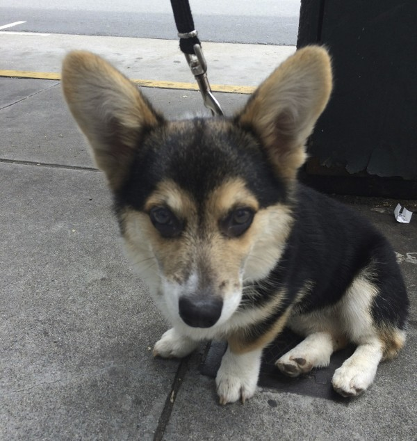 Tricolor Pembroke Welsh Corgi With Black Eyes