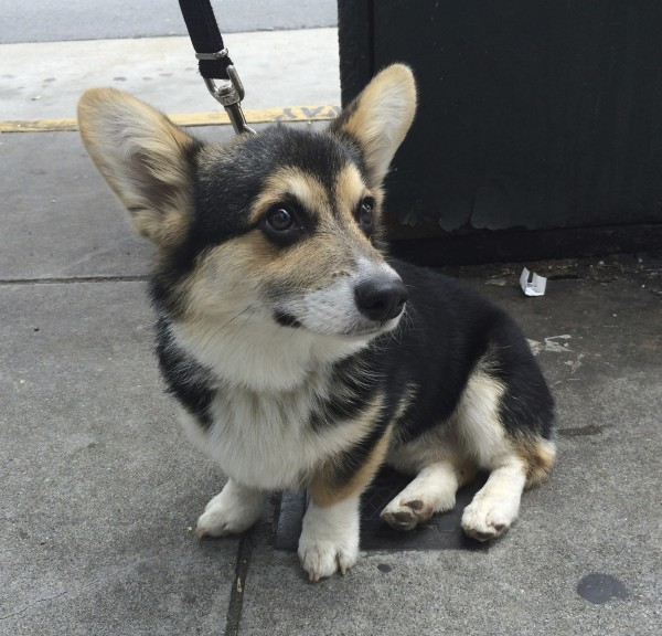 Tricolor Pembroke Welsh Corgi With Black Eyes Looking Adorable